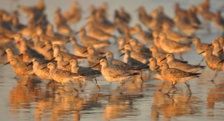 Photo 3: Red Knots in spring plumage at Seabrook Island - Ed Konrad