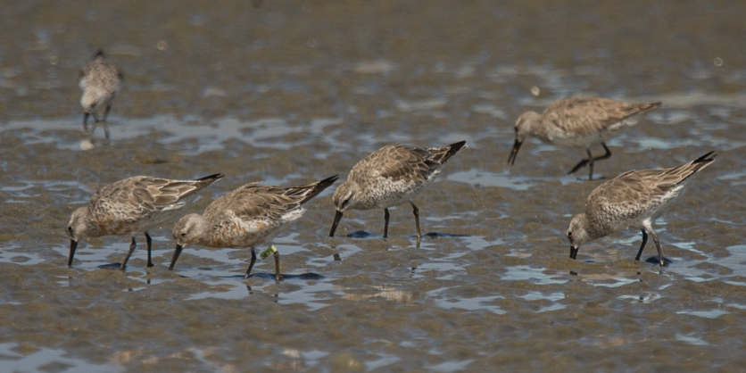 Red Knot, one banded - Ed Konrad