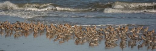 Photo 4: Red Knots feeding on North Beach at Seabrook Island - Ed Konrad