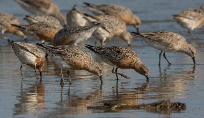 Photo 5: Red Knots feeding on North Beach at Seabrook Island - Ed Konrad