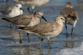 Photo 7: Red Knot with leg flag (or band) at Seabrook Island - Ed Konrad