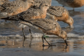 Photo 8: Red Knot with leg flag (or band) at Seabrook Island - Ed Konrad