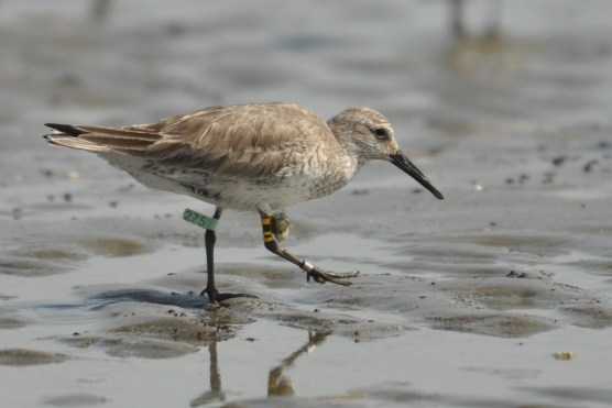 Photo 9: Red Knot with leg flag and geolocator at Seabrook Island - Ed Konrad