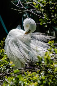 Great Egret - Charles Moore