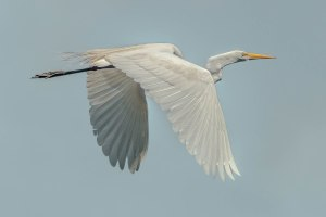 Great Egret - Charles Moore