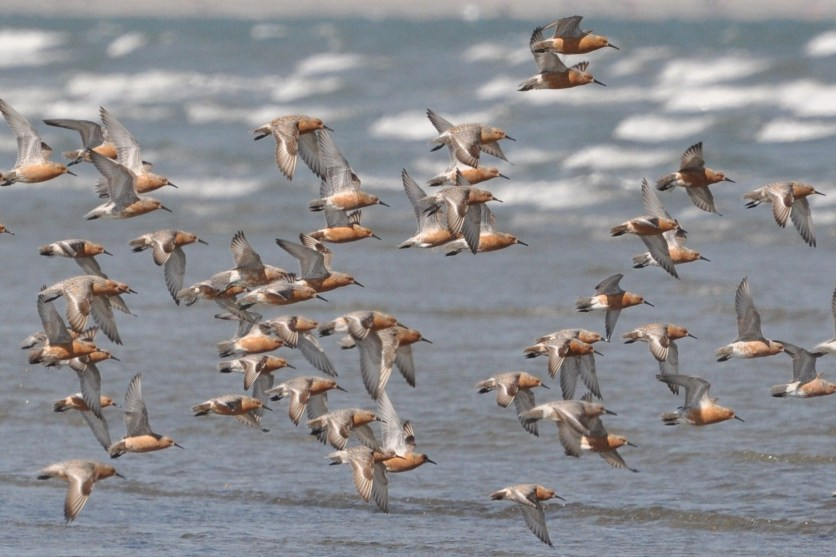 Red Knots on North Beach at Seabrook Island, SC - Ed Konrad