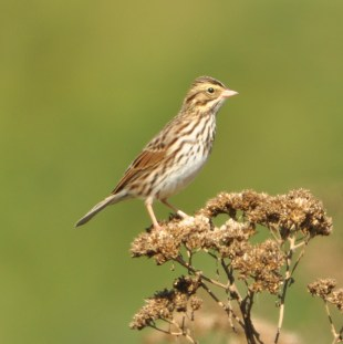 Savannah Sparrow - Ed Konrad