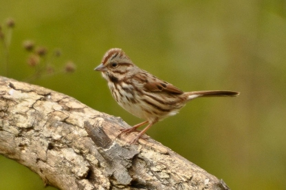Song Sparrow - Ed Konrad