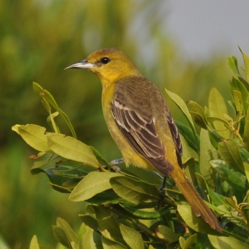 Orchard Oriole female - Ed Konrad