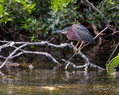 Green Heron by Michael Audette