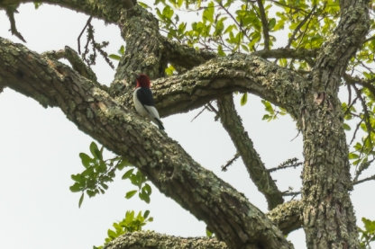 Red-headed Woodpecker - Patricia Schaefer