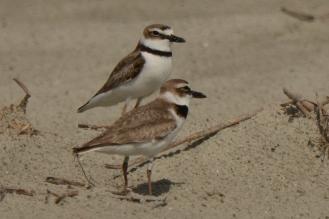 Wilson's Plover, North Beach, pair in nesting area - Ed Konrad