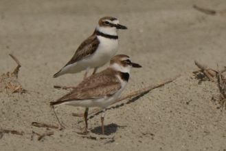 Wilson's Plover, North Beach, pair in nesting area - Ed Konrad