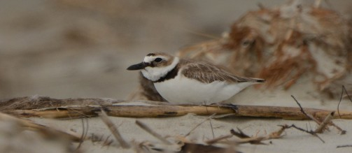 Wilson's Plover, North Beach, in nesting area - Ed Konrad