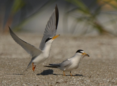 Least Tern, North Beach, courting behavior - Ed Konrad
