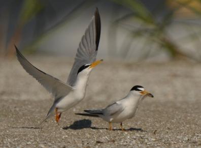 Least Tern, North Beach, courting behavior - Ed Konrad