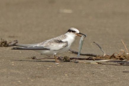 Least Tern juvenile, North Beach - Ed Konrad