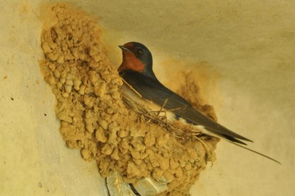 Barn Swallow nest - Ed Konrad
