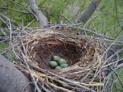 Crow nest and eggs - Kevin McGowan