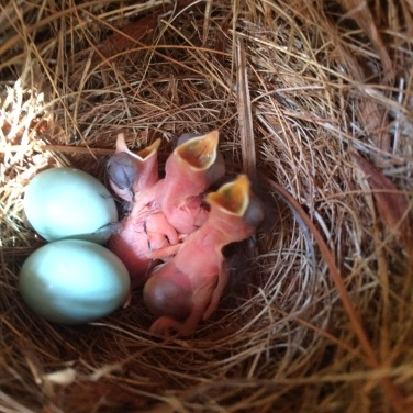 Eastern Bluebird eggs and hatchlings inside nesting box - Judy Morr