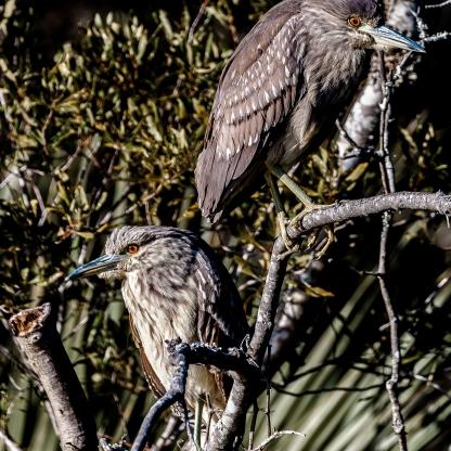 Juvenile Black-crowned Night-Heron - Charles Moore