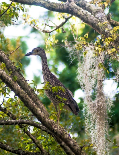 Juvenile Yellow-crowned Night-Heron - Charles Moore