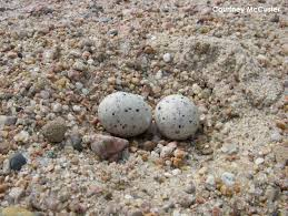 Nest 2 - Least Tern