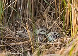 Nest 3 - Willet
