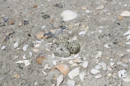 Nest 4 - Wilson's Plover