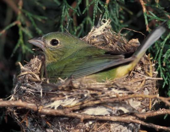 Painted Bunting female on nest - unknown photographer