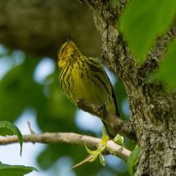 Cape May Warbler, Magee Marsh - Ed Konrad