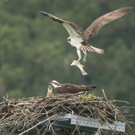 Osprey male & female with chicks - Ed Konrad