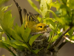 Yellow Warbler, Magee Marsh - Ed Konrad