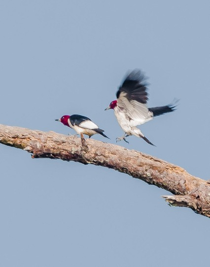 Red-headed Woodpeckers mating dance - Charley Moore