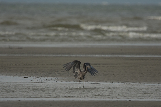 Reddish Egret, far end North Beach, low tide - Ed Konrad