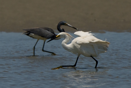 Snowy Egret and Tricolored Heron, North Beach tidal pool - Ed Konrad