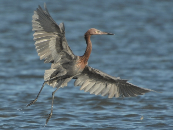 Reddish Egret, North Beach - Ed Konrad