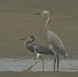 Reddish Egret & Tri-colored Heron, Beachwalker Park 2012 - Ed Konrad