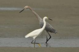 Reddish Egret & Snowy Egret, Beachwalker Park 2012 - Ed Konrad