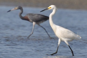 Reddish Egret & Snowy Egret mimicking fishing behavior, Beachwalker Park 2010 - Ed Konrad