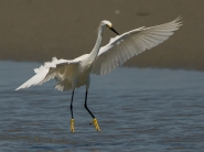 Snowy Egret canopy fishing behavior - Ed Konrad