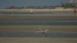 Reddish Egret, moving across North Beach, low tide - Ed Konrad