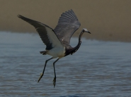 Tricolored Heron canopy fishing behavior - Ed Konrad