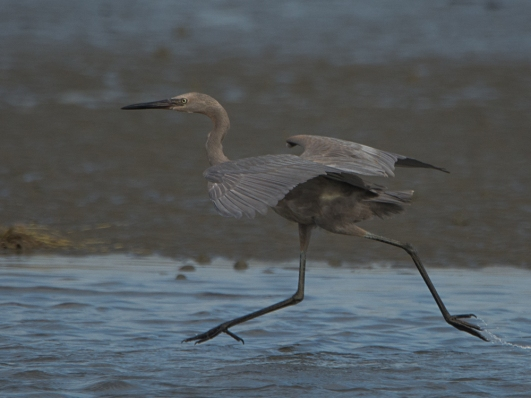 Reddish Egret North Beach - Ed Konrad
