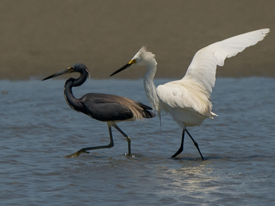 Snowy Egret and Tricolored Heron, some conflict - Ed Konrad