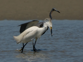 Snowy Egret and Tricolored Heron, success - Ed Konrad