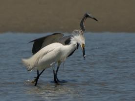 Snowy Egret and Tricolored Heron, success - Ed Konrad