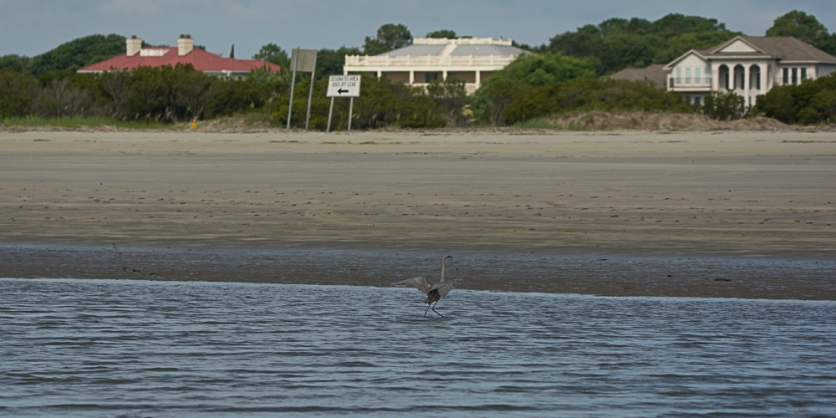 Reddish Egret, near shore, North Beach - Ed Konrad