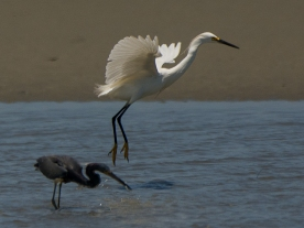 Snowy Egret and Tricolored Heron, more success - Ed Konrad