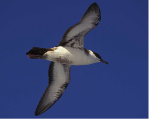 Great Shearwater - photo credit Audubon